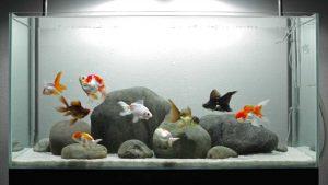 goudvis aquarium