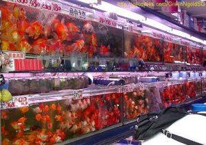 goudvis kopen