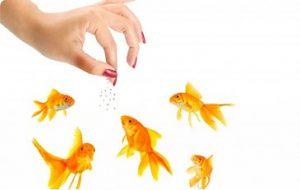voeren van goudvissen
